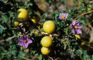 Solanum_linnaeanum1